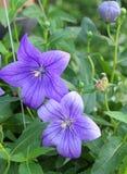 Piękny purpura kwiat obrazy royalty free
