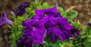 Piękny purpura kwiat w ogródzie fotografia stock