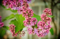 Piękny purpurowy bez kwitnie outdoors Zdjęcie Royalty Free