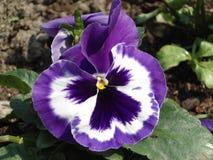 Piękny purpurowy pansy Zdjęcie Royalty Free