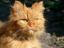 Piękny puszysty Perski kot Zdjęcie Stock