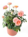 Piękny rosebush w garnku Fotografia Royalty Free
