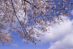 piękny Sakura Obraz Royalty Free
