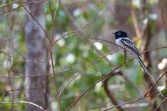 Piękny samiec Madagascar raju Flycatcher Zdjęcie Stock