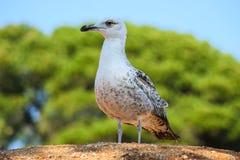 piękny seagull Zdjęcie Stock