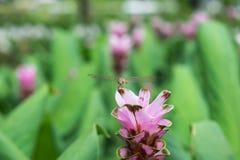Piękny Siam tulipanowy kwiat w ogródzie Obraz Stock