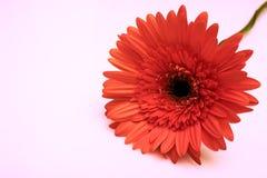 Piękny spadków kolorów kwiat odizolowywa Fotografia Stock