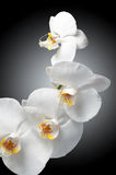 piękny storczykowy biel Obraz Royalty Free