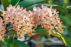 Piękny storczykowy kwiat w ogródzie przy zimy lub wiosny dniem Zdjęcie Stock