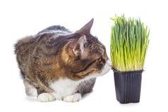 Piękny szary kot i zielona trawa Zdjęcia Royalty Free