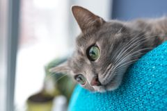 Piękny szary kot z zielonymi oczami blisko okno, Zdjęcia Royalty Free