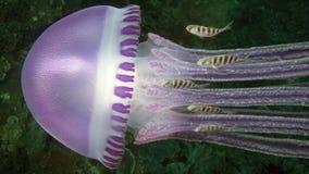 Piękny Thystanostoma flagellatum jellyfish Fotografia Royalty Free