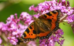 Piękny Tortoiseshell motyla karmienie na kwiacie Fotografia Stock