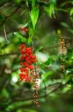 Piękny tropikalny czerwony kwiat Madagascar Zdjęcie Royalty Free