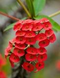 Piękny tropikalny czerwony kwiat Madagascar Obrazy Royalty Free