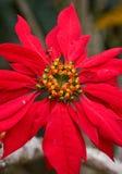 Piękny tropikalny czerwony kwiat Madagascar Obraz Royalty Free