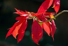 Piękny tropikalny czerwony kwiat Madagascar Zdjęcie Stock