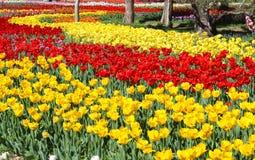 Piękny tulipan Zdjęcia Stock