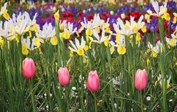 Piękny tulipan i irysa pole zdjęcia royalty free