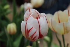 Piękny tulipan w polu, dobra natura, dobre zdrowie Zdjęcia Royalty Free