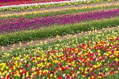 Piękny tulipanu gospodarstwo rolne Obrazy Royalty Free