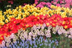 piękny tulipanu kwiatu kwiat Obraz Royalty Free