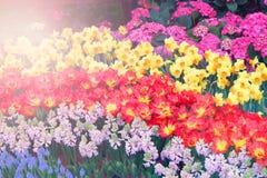 piękny tulipanu kwiatu kwiat Obrazy Stock