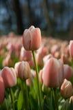 Piękny tulipanu ogród w Turcja Obraz Stock