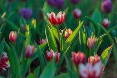 Piękny tulipanu pole w ogródzie Zdjęcie Stock