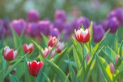 Piękny tulipanu pole w ogrodowym ranku Zdjęcie Stock