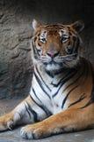 piękny tygrys Zdjęcia Stock