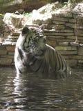Piękny tygrys w zoo fotografia royalty free
