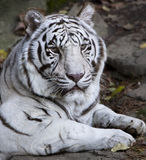 piękny tygrysi biel Zdjęcie Stock