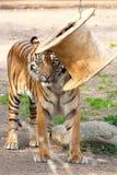 Piękny tygrysi obsiadanie na brukowiec powierzchni w zoo obraz royalty free