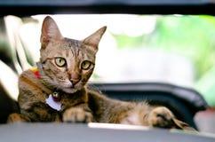 Piękny uroczy lamparta koloru kota obsiadanie na kanapie zdjęcia stock