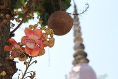 Piękny w menchiach cannonball kwiatu wezwania Sal Kwitnie w Tajlandzkim Zdjęcie Royalty Free