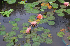 Piękny waterlily lub lotosowy kwiat prawi komplementy zdjęcie stock