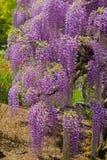 Pi?kny widok Wielki purpur menchii ?a?o?ci okwitni?cia drzewo, Ashikaga, Tochigi, Japonia zdjęcia stock