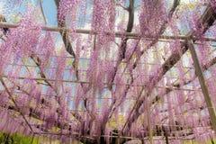 Pi?kny widok Wielki purpur menchii ?a?o?ci okwitni?cia drzewo, Ashikaga, Tochigi, Japonia fotografia stock