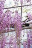 Pi?kny widok Wielki purpur menchii ?a?o?ci okwitni?cia drzewo, Ashikaga, Tochigi, Japonia obraz royalty free