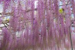 Pi?kny widok Wielki purpur menchii ?a?o?ci okwitni?cia drzewo, Ashikaga, Tochigi, Japonia zdjęcia royalty free
