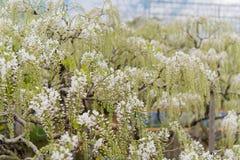 Pi?kny widok Wielki purpur menchii ?a?o?ci okwitni?cia drzewo, Ashikaga, Tochigi, Japonia obrazy royalty free