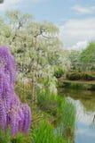 Pi?kny widok Wielki purpur menchii ?a?o?ci okwitni?cia drzewo, Ashikaga, Tochigi, Japonia obraz stock