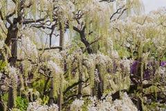 Pi?kny widok Wielki purpur menchii ?a?o?ci okwitni?cia drzewo, Ashikaga, Tochigi, Japonia zdjęcie stock