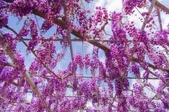 Pi?kny widok Wielki purpur menchii ?a?o?ci okwitni?cia drzewo, Ashikaga, Tochigi, Japonia obrazy stock