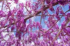 Pi?kny widok Wielki purpur menchii ?a?o?ci okwitni?cia drzewo, Ashikaga, Tochigi, Japonia zdjęcie royalty free