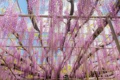 Pi?kny widok Wielki purpur menchii ?a?o?ci okwitni?cia drzewo, Ashikaga, Tochigi, Japonia fotografia royalty free