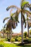 Piękny wielki drzewko palmowe, zielony drzewko palmowe Zdjęcie Stock