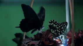 Piękny wielki motyl zdjęcie wideo