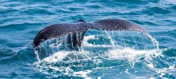 Piękny wieloryb Zdjęcia Royalty Free
